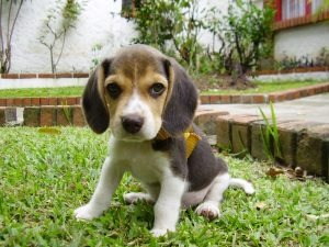 5 most loved puppies beagle