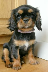 5 most loved puppies cavalier