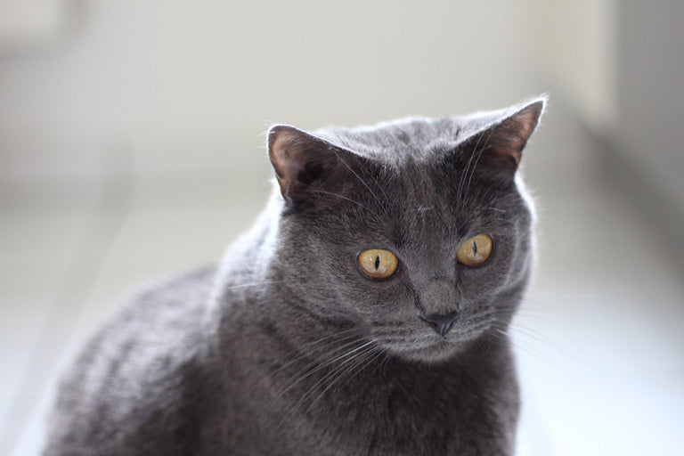 Chartreux-cat-breed-introduction-2