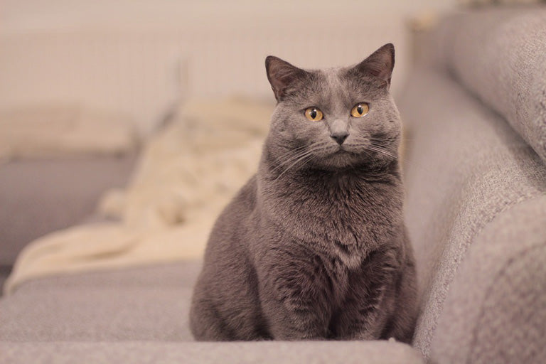 Chartreux-cat-breed-introduction-3