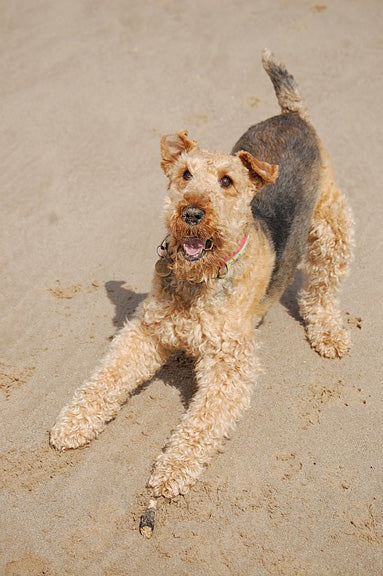 breed-introduction-airedale-terrier-dog-2