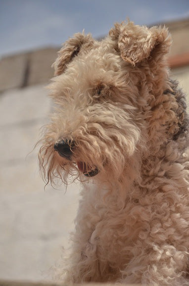breed-introduction-airedale-terrier-dog-3
