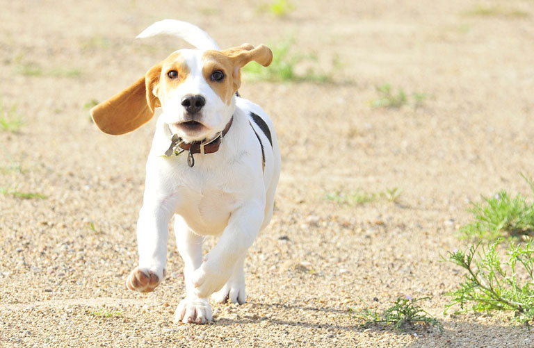 breed-introduction-beagle-3