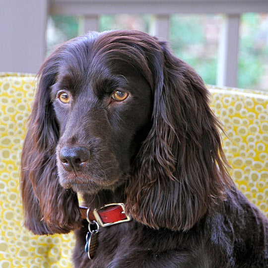 breed-introduction-boykin-spaniel-dog-3