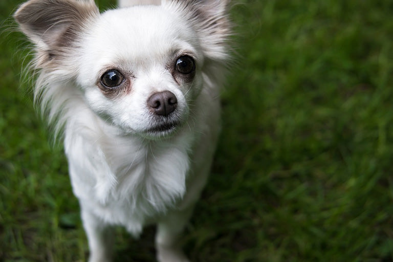 breed-introduction-chihuahua-5
