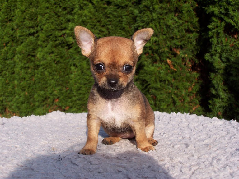 breed-introduction-chihuahua-6