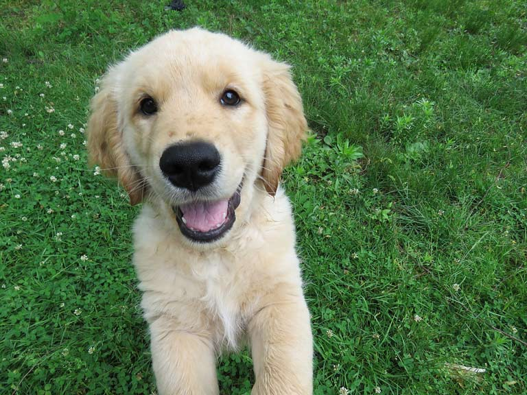 breed-introduction-golden-retriever-2