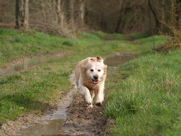 breed-introduction-golden-retriever-3