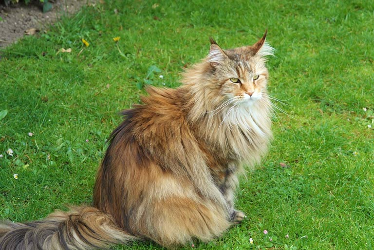 breed-introduction-siberian-forest-cat-3