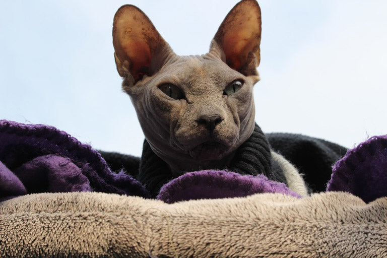 breed-introduction-sphynx-cat-2