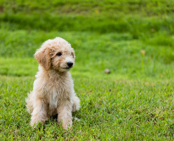 dog-breed-introduction-goldendoodle-2