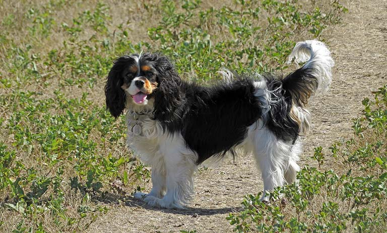 dog-breed-introduction-king-charles-spaniel-2
