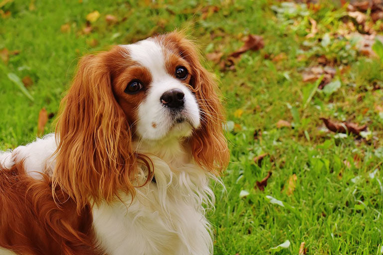 dog-breed-introduction-king-charles-spaniel-3