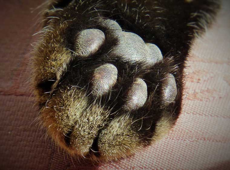 interesting-facts-about-cat-paws