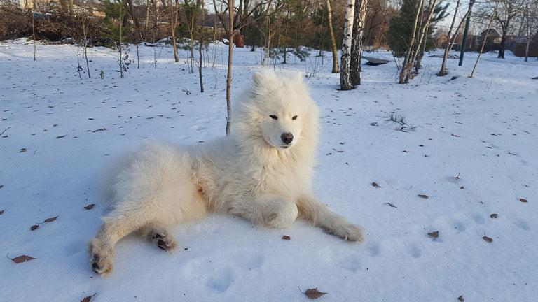 samoyed-expensive-dog-breed-world-1