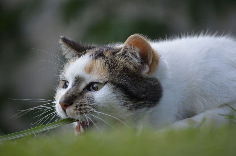 why-cats-eat-grass