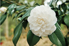 Benefits of Camellia Oil