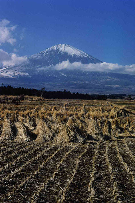 View of Mt. Fuji with Wheat, Japan
