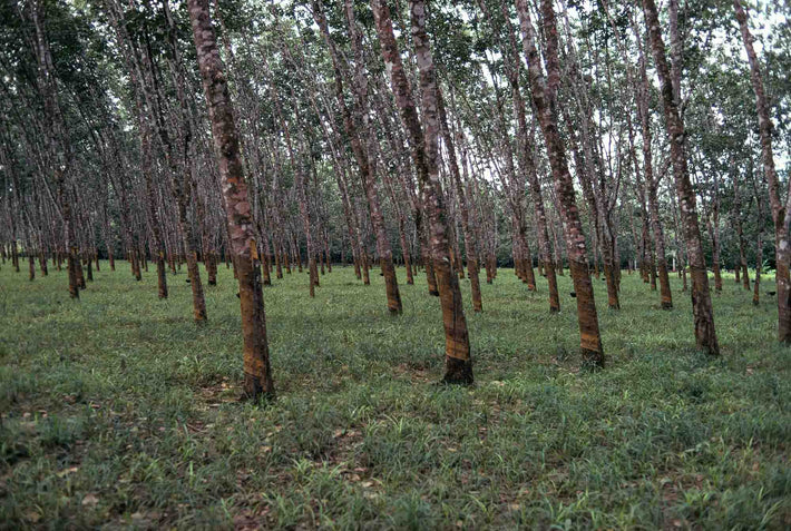 Rubber Trees from Ground, Liberia