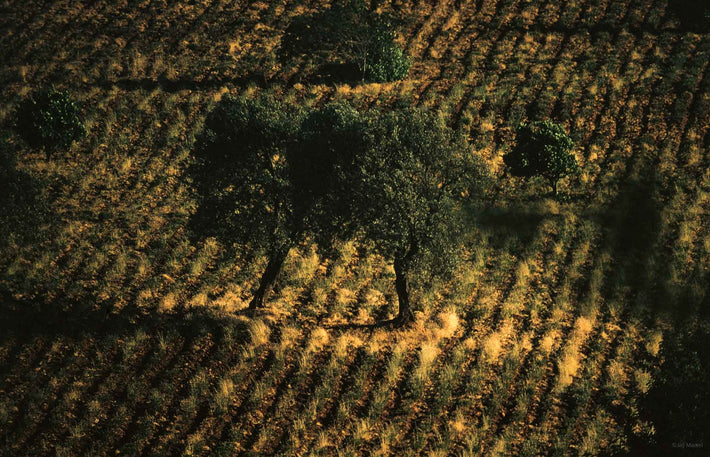 Trees, Furrowed Land, Portugal