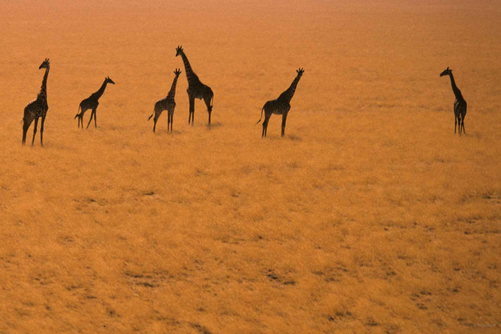 Aerial of Six Giraffes, Kenya