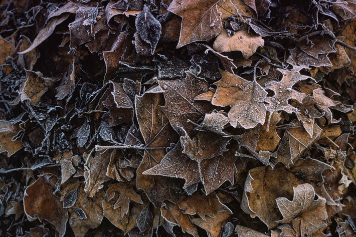 Close-up Autumn Leaves with Snow Edges, London