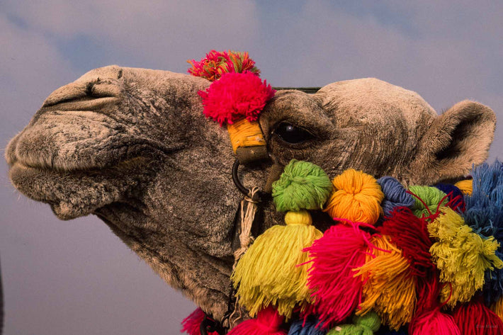 Close-up Head of Camel, Egypt