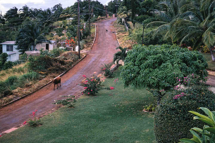 Road with Cow, Jamaica