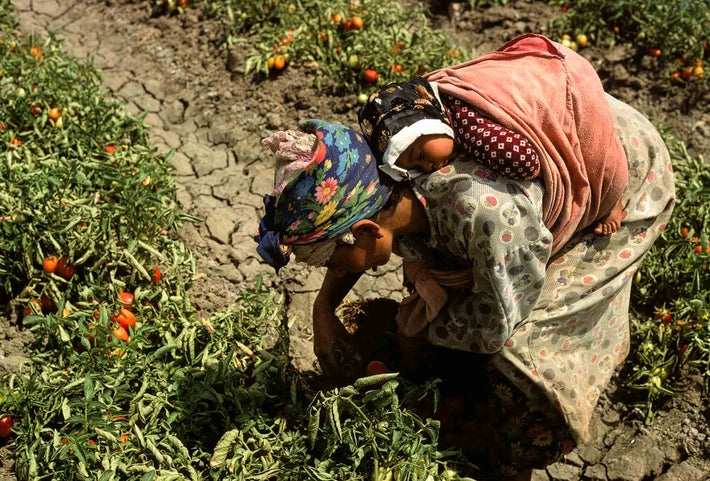 Woman with Baby on Back Picking Tomatoes, Marrakech