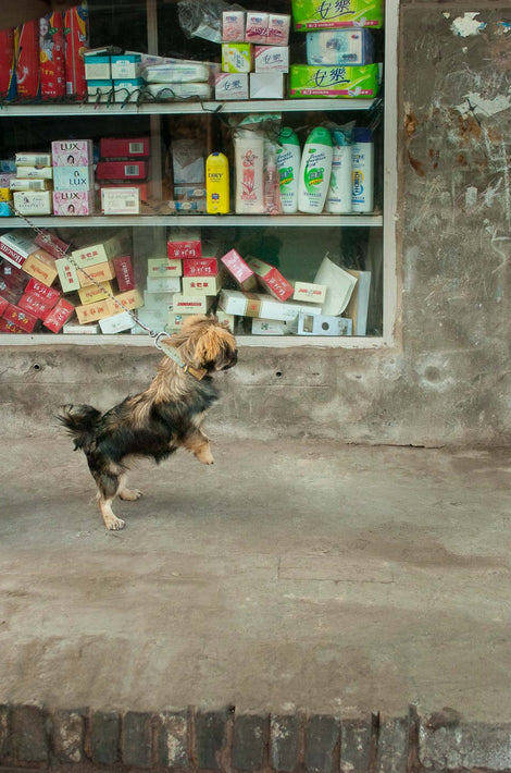Dog with Both Legs Up, Pingyao