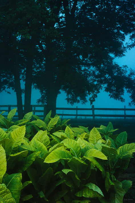 Tobacco Farm, Kentucky