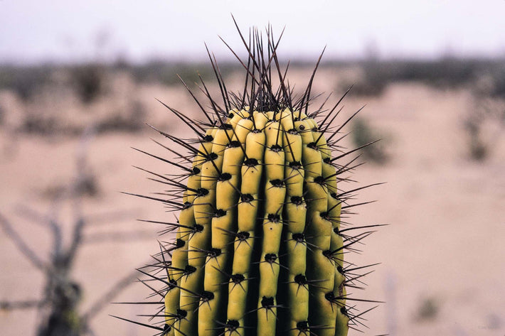 Single Cactus