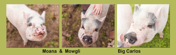 Big Carlos, Mowgli & Moana the pigs at Dominion Sanctuary