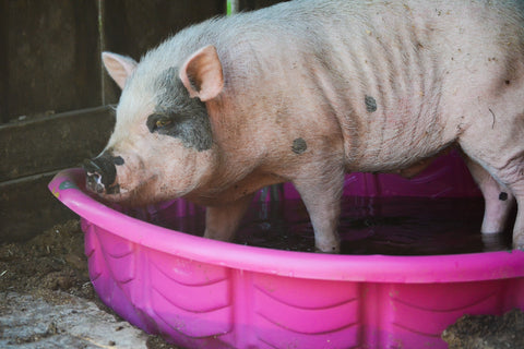 pig in swimming pool pot belly pig barn pool cooling off