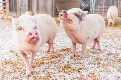 three little pigs animal sanctuary grand rapids michigan