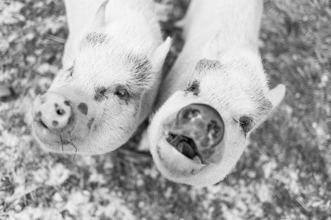 two little pigs at dominion sanctuary michigan