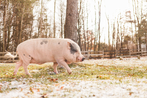 pig living in vegan setting in midwest states