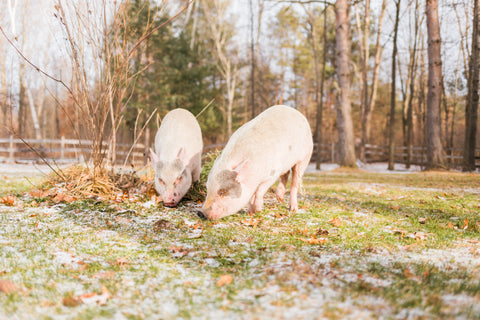 Animal rescue farm pigs potbelly pig sanctuary