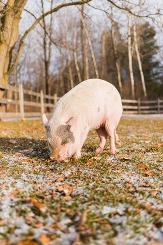 pig grazing on grass with snow at sanctuary