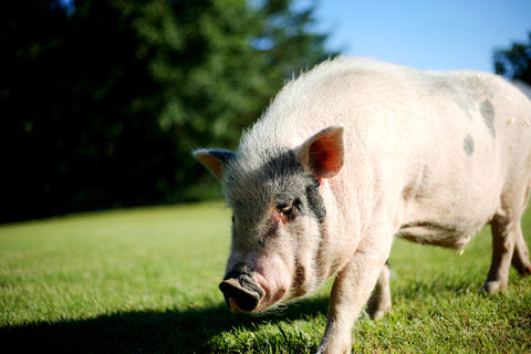 peaceful pig, Carlos grazing on grass in field, vegan Michigan animal sanctuary