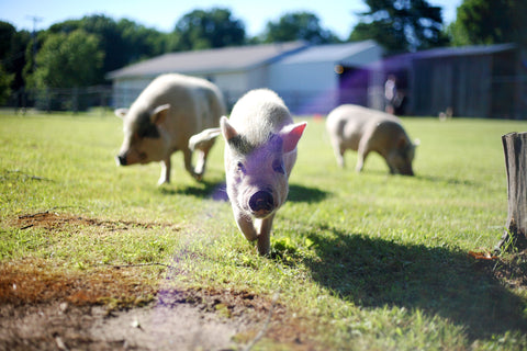three pigs grazing in field, Grand Rapids Michigan vegan animal sanctuary fundraiser