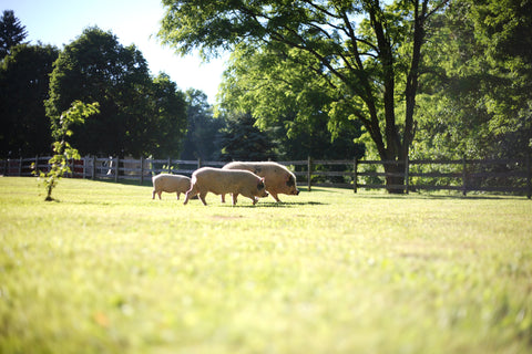 three pigs roaming in a field, grand rapids michigan vegan sanctuary piggy