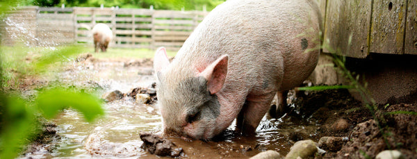 pig digging in mud at vegan sanctuary