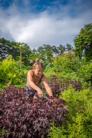 Gardener Sarah Randa trims a cranberry hibiscus plant in the Kauai Farmacy Gardens. Photo by Mallory Roe