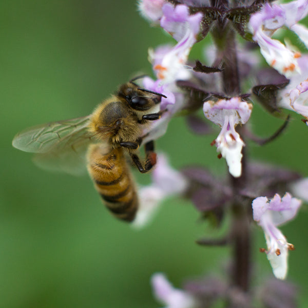 A hard working honeybee pollinates a tulsi flower at Kauai Farmacy.