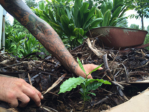 Planting in the garden. Kauai Hawaii