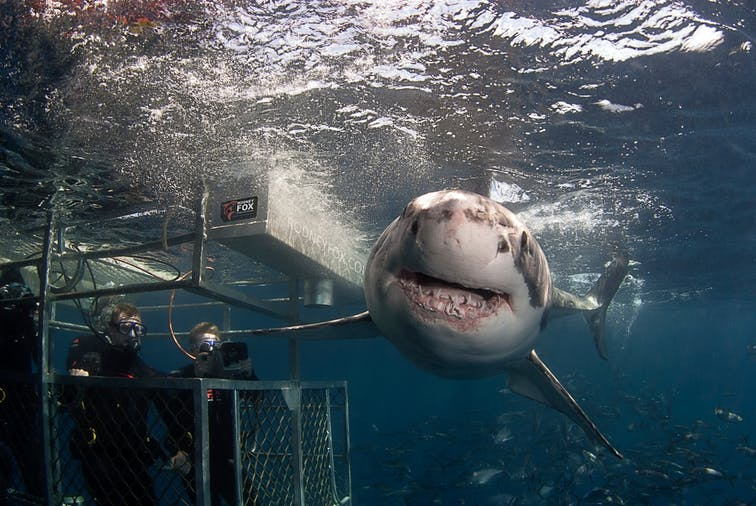Great White shark dive expedition - 15th to 19th October 2021