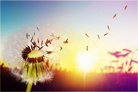Dandelions Yellow Or White They Are Full Of Spiritual Meaning