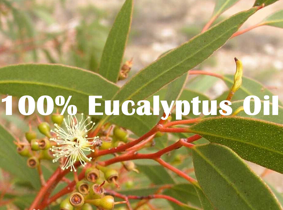 EUCALYPTUS Natural Essential Oil - Capital Elements 2 Wellness and Fitness
