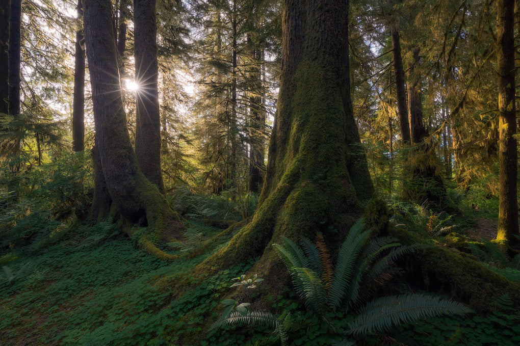 Picture of mossy trees with the sun shining through the forest